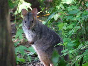 red-leggedpademelon